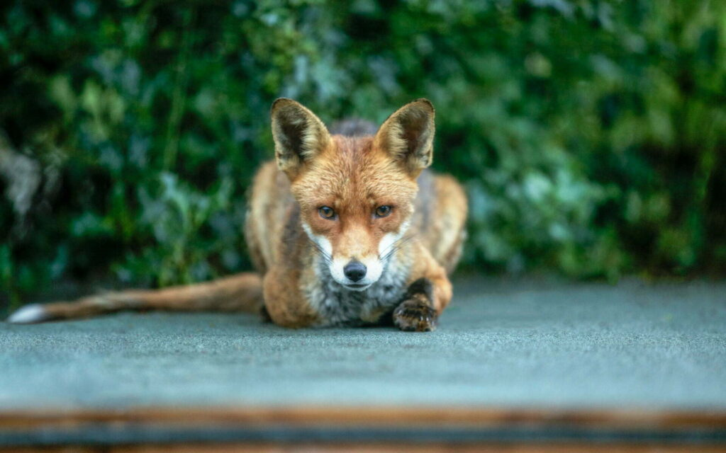 Taken back in 2011, this fox, aptly named Foxtrot, is the inspiration for my forearm tattoo. He would always wait patiently to be fed.