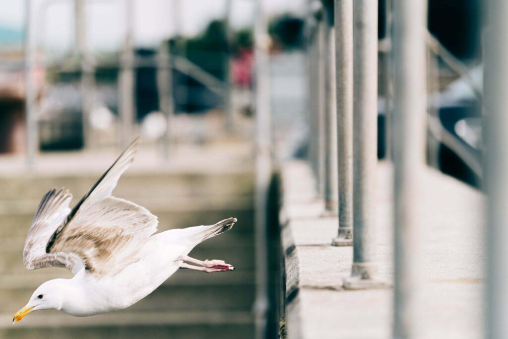 Seagull dive bombs off the pier in Padstow, Cornwall