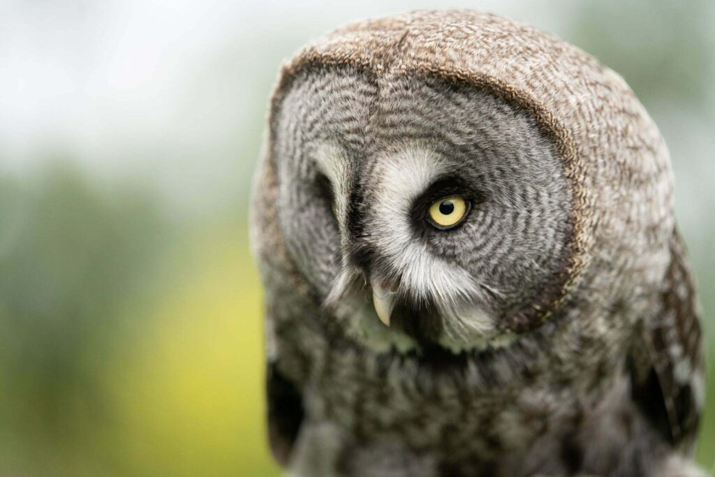 A young owl in training for the birds in flight display show at Paradise Park, Cornwall