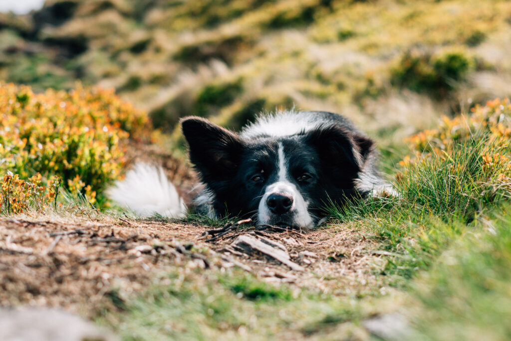 Logie, at just over a year and 2 months old, laying low during a walk in the Ochils